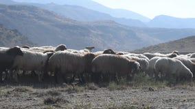 Menge der Schafe stock video footage