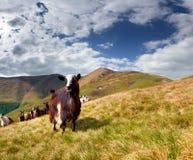 Menge der Schafe und der Ziege in den Bergen lizenzfreie stockfotos