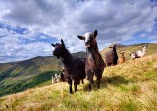 Menge der Schafe und der Ziege in den Bergen stockbilder