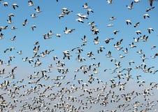 Menge der Schnee-Gänse, die Flug nehmen stockfotografie