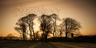 Starlings Lizenzfreies Stockfoto