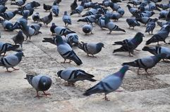 Menge der Tauben stockbild