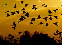 Menge der Vögel, die über Sonnenuntergang fliegen stockfotos