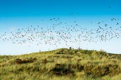 Menge der Vögel Stare, die vom Rastplatz fliegen stockfotos