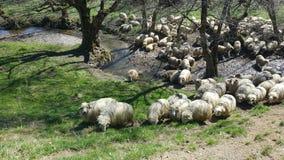 Menge der weiden lassenden Schafe Stockfotos