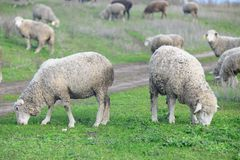 Menge der weiden lassenden Schafe Stockfotografie