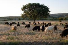 Menge der Ziegen lizenzfreie stockfotos