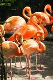 Menge des Flamingos Lizenzfreie Stockbilder