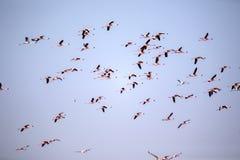 Menge des Fliegens von Lesser Flamingo, Phoeniconaias-Minderjähriger, Walvis-Bucht, Namibia stockbilder