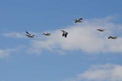 Menge des Nashornpelikan-Fliegens in einem bewölkten Himmel Stockbild