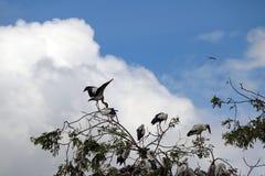 Menge des offenen berechneten Storchvogels hocken und geflügelt am Baum auf blauem Himmel und weißem Wolkenhintergrund stockbild