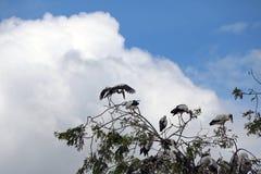 Menge des offenen berechneten Storchvogels hocken und geflügelt am Baum auf blauem Himmel und weißem Wolkenhintergrund stockfotografie
