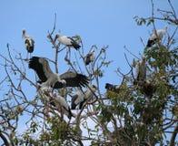 Menge des offenen berechneten Storchvogels hocken und geflügelt am Baum auf blauem Himmel und weißem Wolkenhintergrund lizenzfreies stockbild