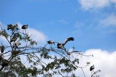 Menge des offenen berechneten Storchvogels hocken und geflügelt am Baum auf blauem Himmel und weißem Wolkenhintergrund lizenzfreie stockfotografie