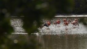 Menge des rosa Flamingos stock video