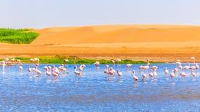 Menge des rosa Flamingos unter dem See und der Dünen in Kalahari Dese lizenzfreies stockfoto
