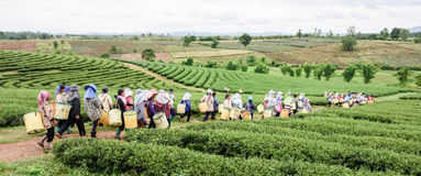 Menge des Teepflücker-Sammelnteeblatts auf Plantage, Chiang Rai, Lizenzfreies Stockbild