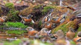Menge des Trinkwassers der schönen Vögel im Herbstwald stock video footage
