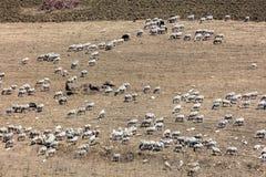 Menge des Viehs nahe Segesta Stockfotografie