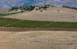 Menge des Viehs nahe Segesta, Sizilien Stockfotos