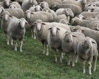 Menge des Weiden lassens der Schafe Stockfoto