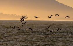 Menge von Brown-Pelikan silhouettiert Fliegen an der Dämmerung Lizenzfreie Stockbilder
