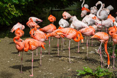 Menge von bunten rosa orange Flamingos Lizenzfreie Stockbilder