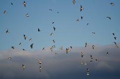 Menge von den Baum-Schwalben, die in bewölkten Himmel fliegen Stockfotos