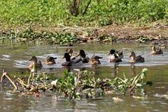 Menge von den Enten, die auf dem Wasser schwimmen Lizenzfreies Stockfoto