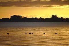 Menge von den Enten, die in der Ostsee mit bewaldetem Ufer schwimmen und von goldenem Sonnenaufgang im Hintergrund Stockbilder
