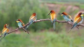 Menge von den farbigen Vögeln, die auf einer Niederlassung sitzen stock video footage
