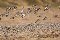 Menge von den Flussuferläufervögeln, die über den gestreuten Kiesel fliegen, setzen auf den Strand auserwählt Stockfotos