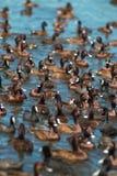 Menge von den Gänsen, die den See genießen, wässern Lizenzfreies Stockbild