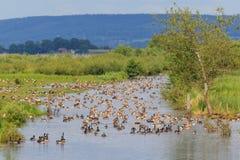 Menge von den Gänsen, die im Fluss stillstehen Lizenzfreie Stockfotos