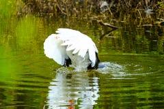 Menge von den inländischen Enten, die in den Stauwassern schwimmen Stockfotos