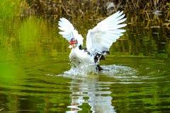 Menge von den inländischen Enten, die in den Stauwassern schwimmen Stockfoto