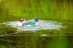 Menge von den inländischen Enten, die in den Stauwassern schwimmen Stockfotografie