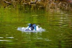 Menge von den inländischen Enten, die in den Stauwassern schwimmen Lizenzfreies Stockfoto