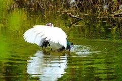 Menge von den inländischen Enten, die in den Stauwassern schwimmen Stockbild