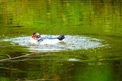 Menge von den inländischen Enten, die in den Stauwassern schwimmen Lizenzfreies Stockbild