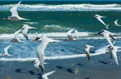Menge von den königlichen Seeschwalben, die über einen Strand fliegen Lizenzfreie Stockbilder