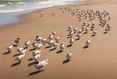 Menge von den königlichen Seeschwalben, die auf ein Florida gehen, setzen die Formung einer langen Schlange auf den Strand Lizenzfreie Stockfotografie