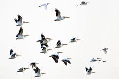 Menge von den Nashornpelikanen, die auf einen weißen Hintergrund fliegen Stockfotos