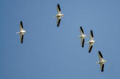 Menge von den Nashornpelikanen, die in einen blauen Himmel fliegen Stockbild