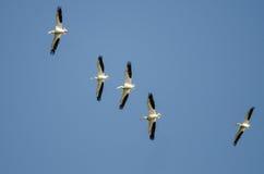 Menge von den Nashornpelikanen, die in einen blauen Himmel fliegen Lizenzfreies Stockfoto