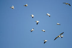 Menge von den Nashornpelikanen, die in einen blauen Himmel fliegen Lizenzfreies Stockbild