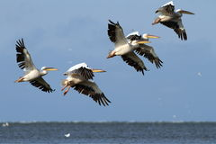 Menge von den Pelikanen, die über das Meer fliegen Stockfotografie
