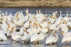 Menge von den Pelikanen, die im Fluss stehen Lizenzfreie Stockfotografie