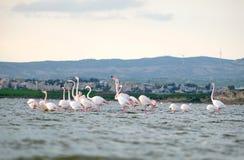 Menge von den rosa Flamingos, die in Salt Lake in Larnaka, Zypern einziehen lizenzfreie stockfotos