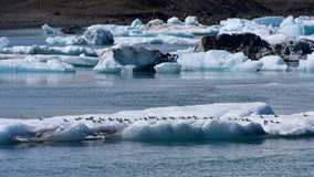 Menge von den Schwalben, die auf einem Eisberg in Island stillstehen Lizenzfreie Stockfotografie